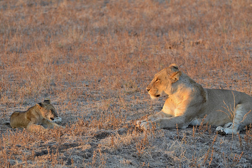 Lioness, cub | by ggallice