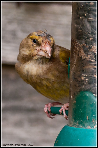Hungry Greenfinch | by Doug Price.