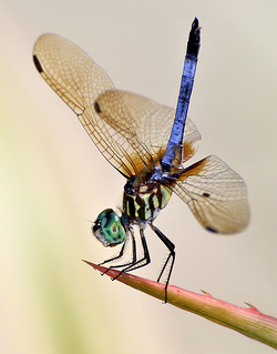 Blue Dasher Dragonfly. | by pedro lastra