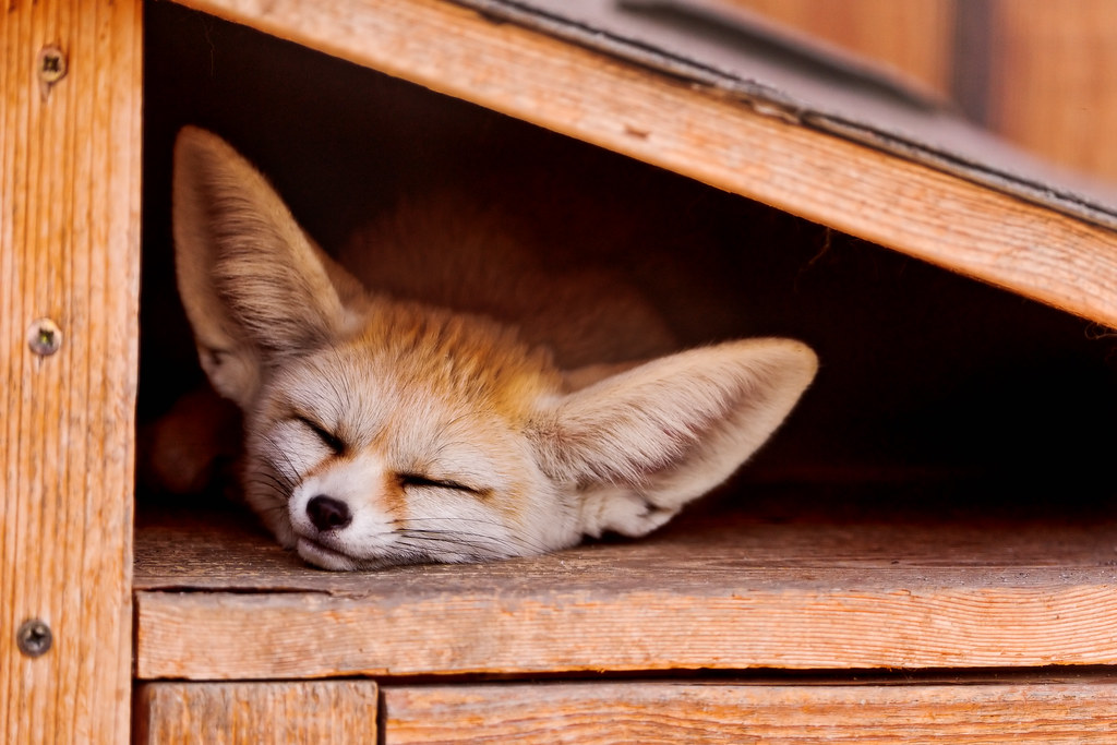 sleeping fennec fox fennecs are just plain cute with their flickr