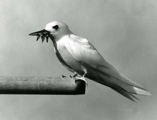 Fairy tern, Pacific Ocean, circa 1961-1973. | by Smithsonian Institution
