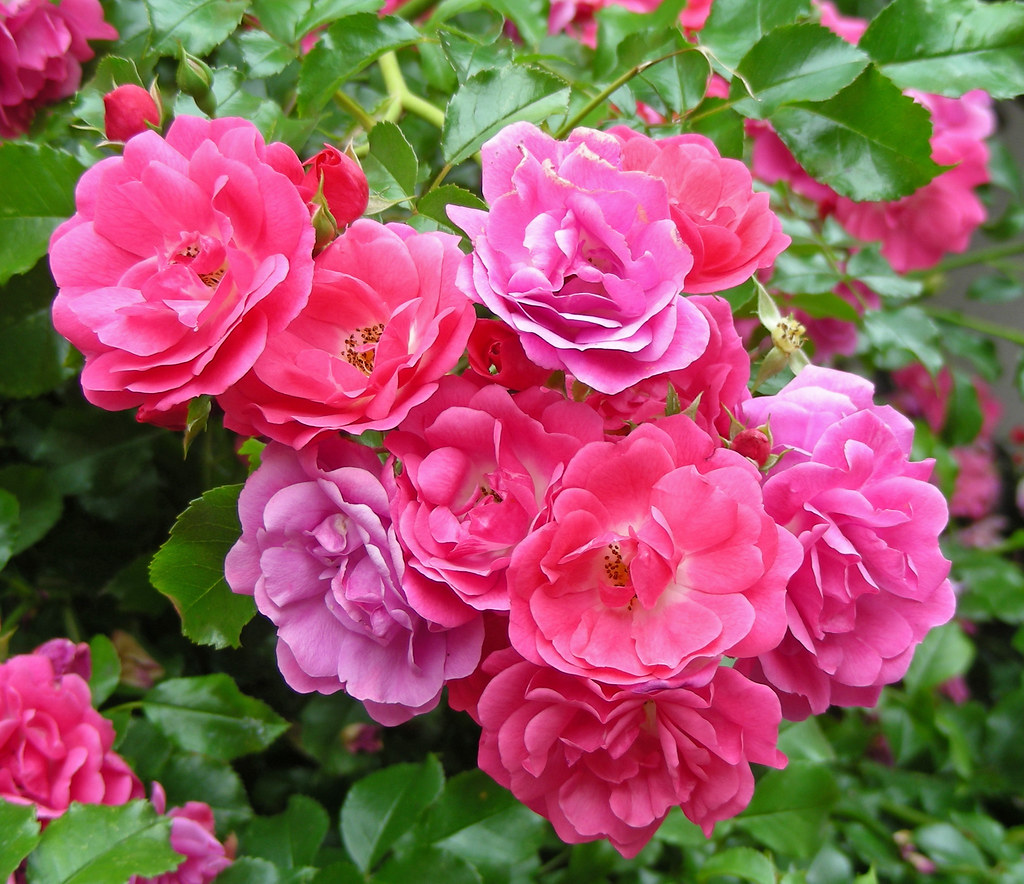 wild roses pink purple this bunch of wild roses displays flickr. Black Bedroom Furniture Sets. Home Design Ideas