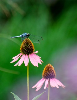 dragonfly on cone flower | by julesberry2001