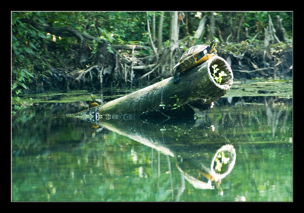 0072 - Turtles in Silver Springs Florida   A couple of turtl ...