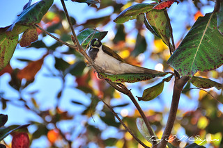 D90_Blue-Faced_Honeyeater | by ebswift