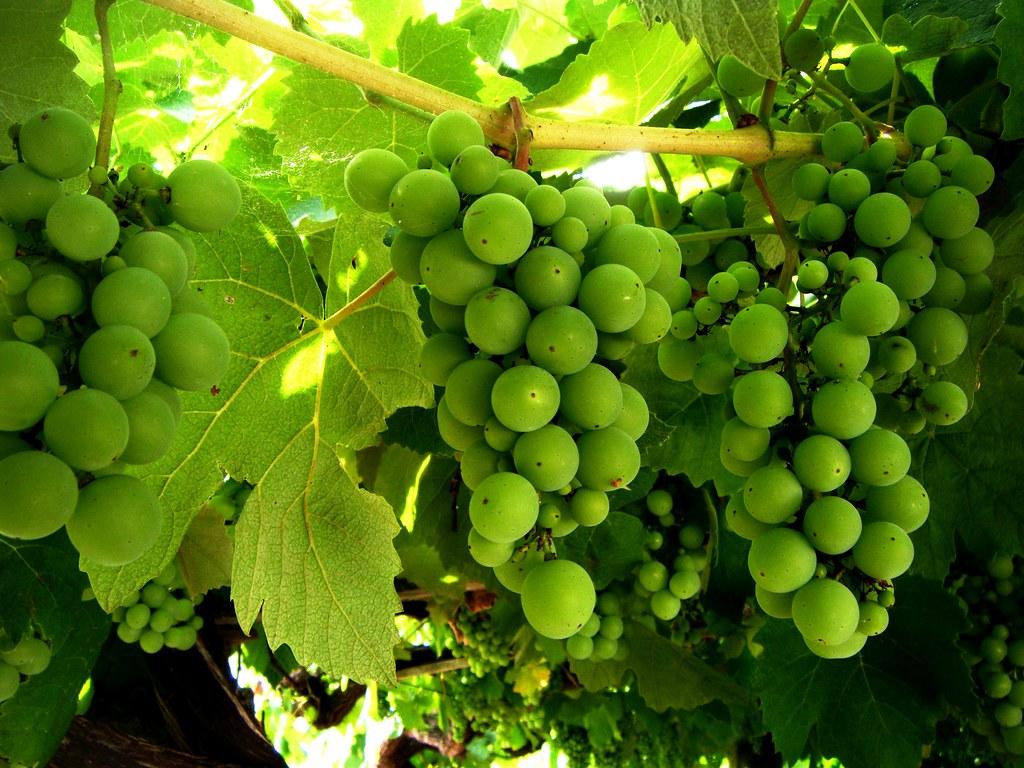 La uva por teresalaloba vias del o rosal la mejor zona v flickr la uva por teresalaloba by teresalaloba gumiabroncs Images