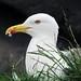 Gull, Inchcolm Island, Scotland