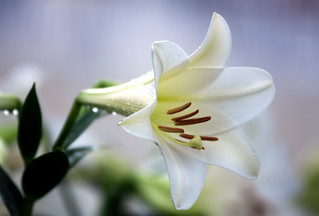 Lily | by floridapfe