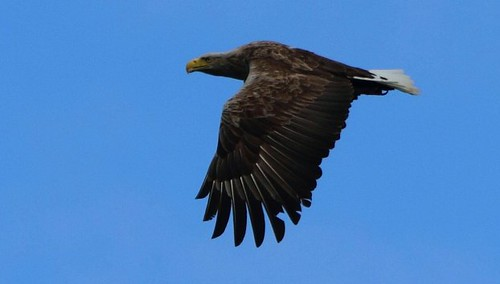 Sea eagle high over Mull | by www.willdawesphotography.co.uk