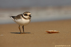 Ringed Plover by gcampbellphoto