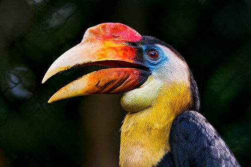 Colorful hornbill | by Tambako the Jaguar