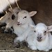 Random lamb snaps 1 - lambing season 2011