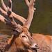 Lying deer with big horns