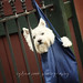 scottish terrier puppy hanging on fence