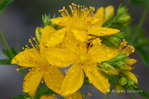Common St. John's Wort