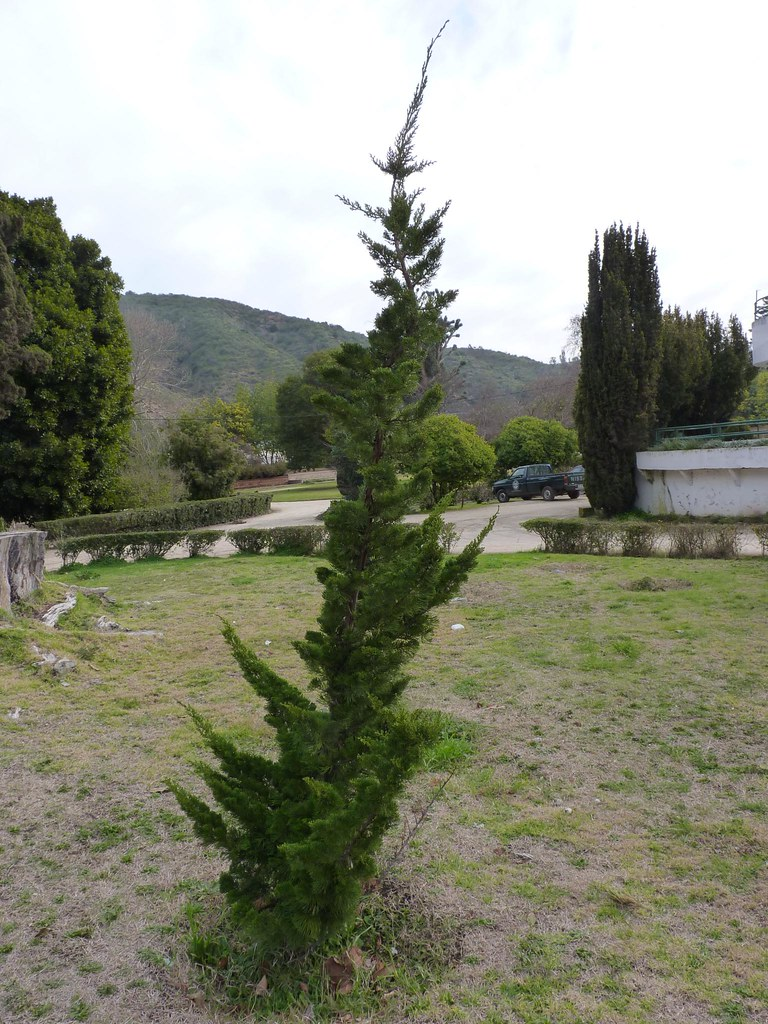 Jardin de juniperus y otras con feras flickr for Coniferas de jardin