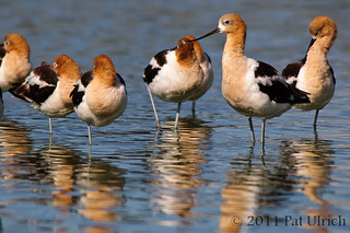 Flock of Avocets | by Pat Ulrich