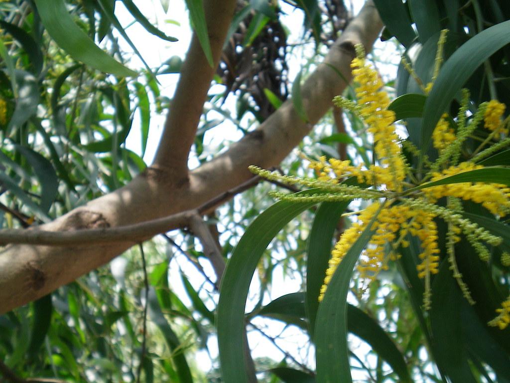 Acacia Auriculiformis With Yellow Flowers Acacia Auriculif Flickr