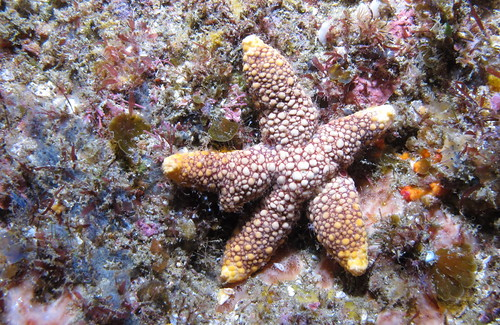 Sea star at Aliwal Shoal, KwaZulu-Natal, South Africa
