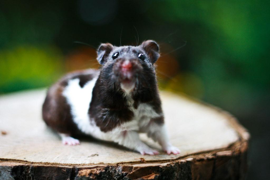 Mekkín - Black Banded SH Syrian hamster | astakatrin | Flickr