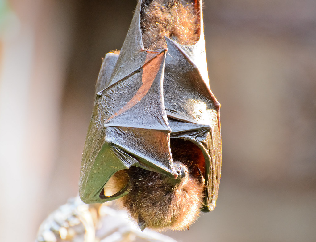 sleeping fruit bat disneys animal kingdom asia
