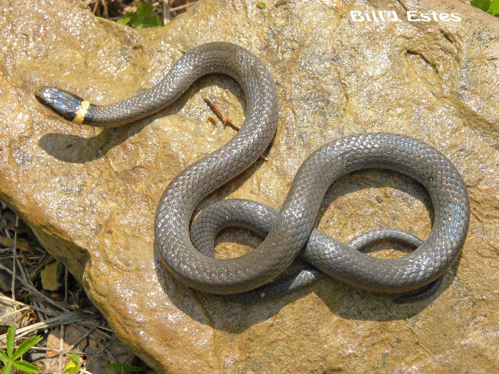 Ring Snake In Pennsylvania