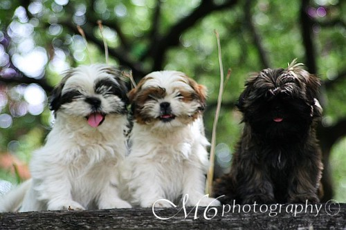 Shih Tzu Pups | by m6photography