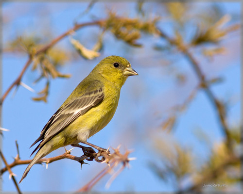 Lesser Goldfinch | by Joan Gellatly
