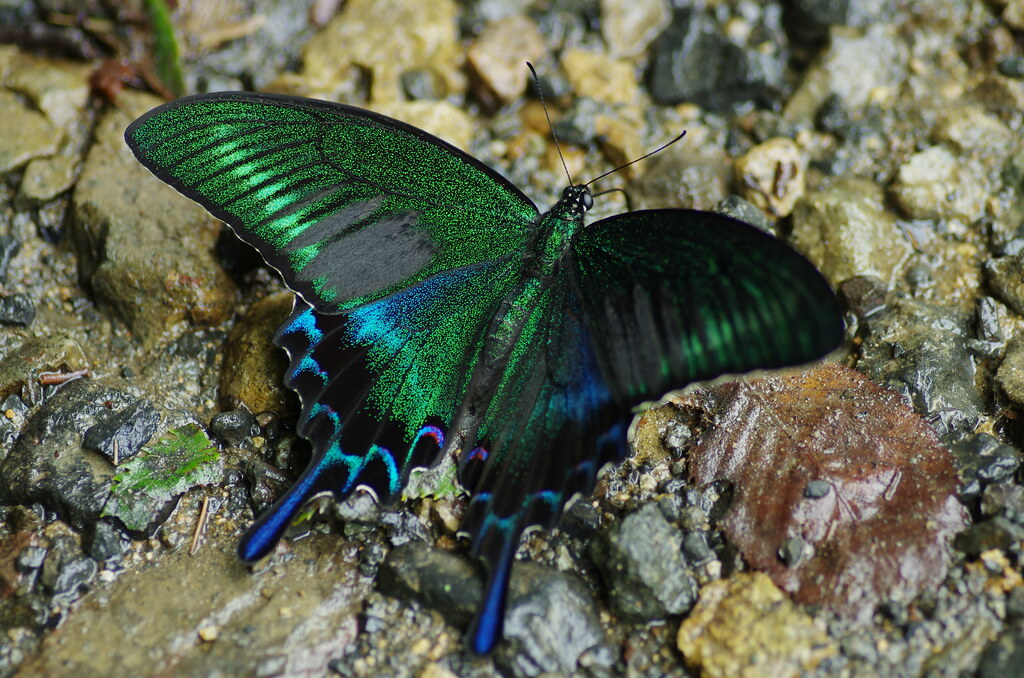Insect-Sale.com - Papilio maackii maackii (Summer) - Papilio ...