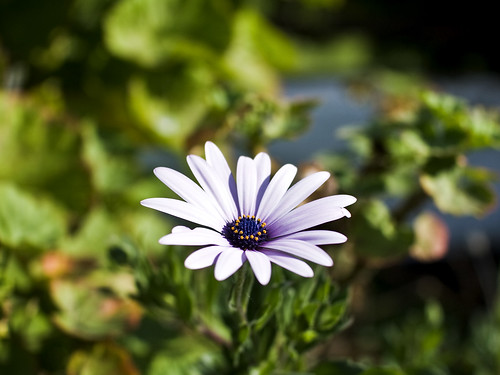 Daisy | by red snapper 205