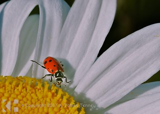 Ladybug on Flower | by T bias