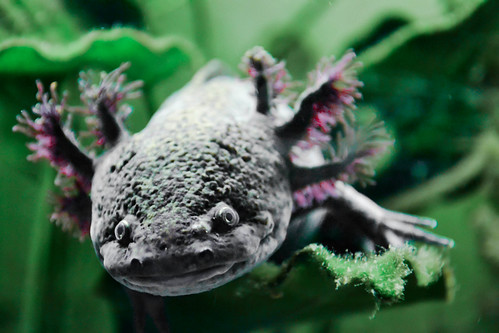 Horst the Axolotl is watching us... | by ThePonymonster
