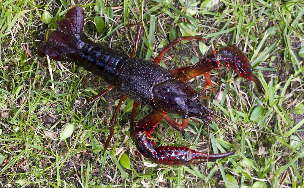Procambarus Clarkii Amerikaanse Rode Rivierkreeft Flickr