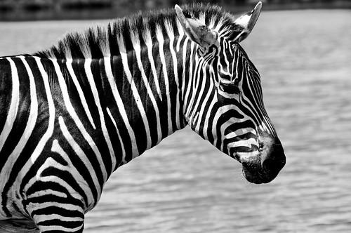 Zebra Black and White  Zebra Stripes  Ryan Gardiner  Flickr