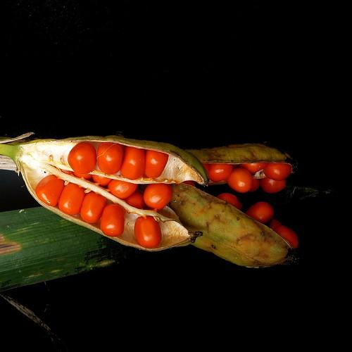 graines d 39 iris f tide c 39 est une plante arriv e dans le jar flickr. Black Bedroom Furniture Sets. Home Design Ideas