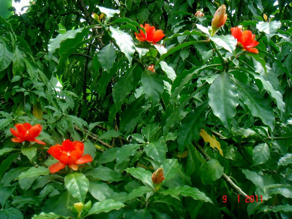 Pereskia Bleo Kunth Dc Bukit Tagar Hulu Selangor