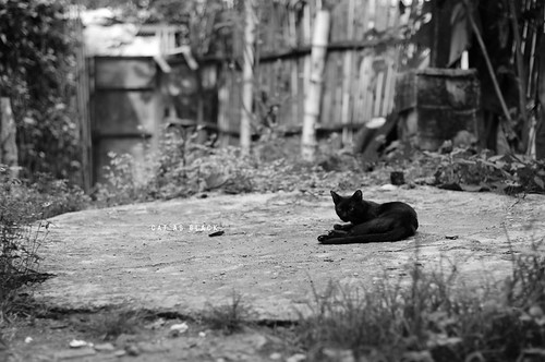 [201/365] Cat as Black | by Dodzki