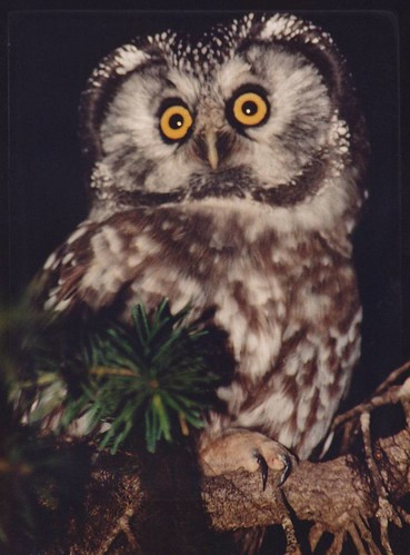 Boreal Owl | by twobirders4life