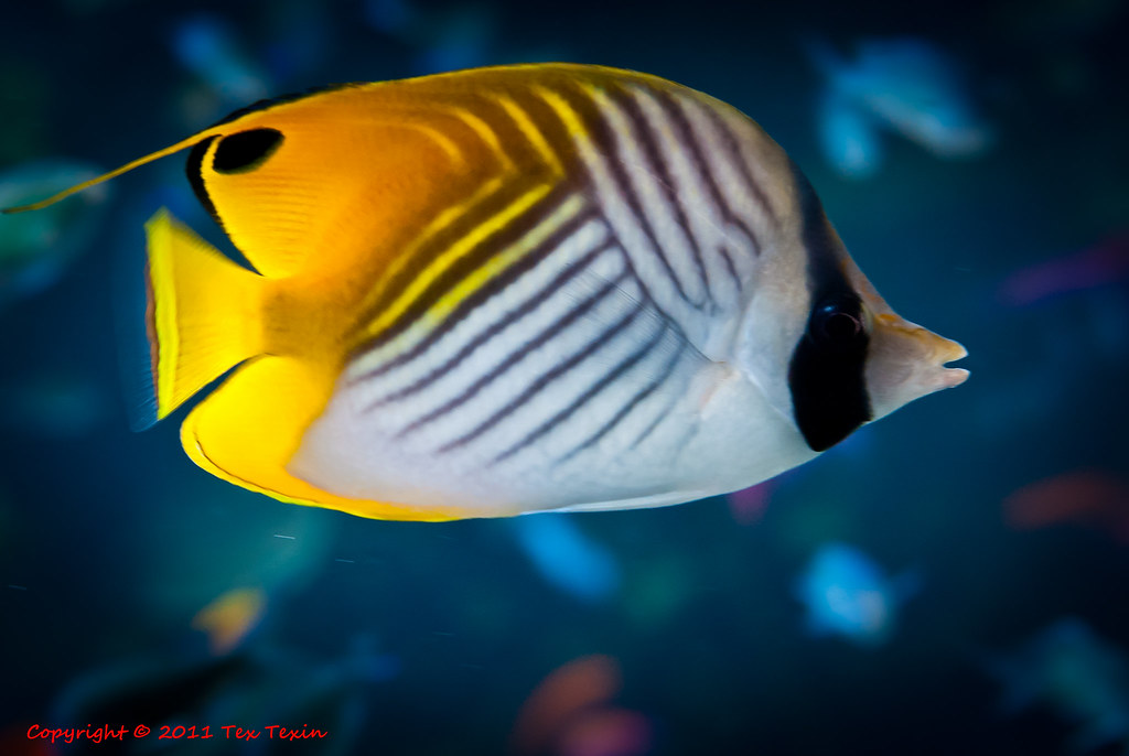 Yellow And Black Striped Fish At Monterey Aquarium Flickr