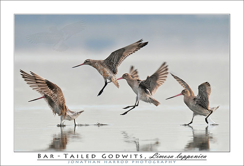 Bar-tailed Godwits | by truubloo