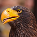 Portrait of a Steller's sea eagle