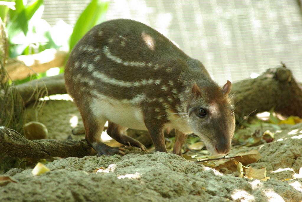 Lowland Paca (Cuniculus paca) – Kaieteur News