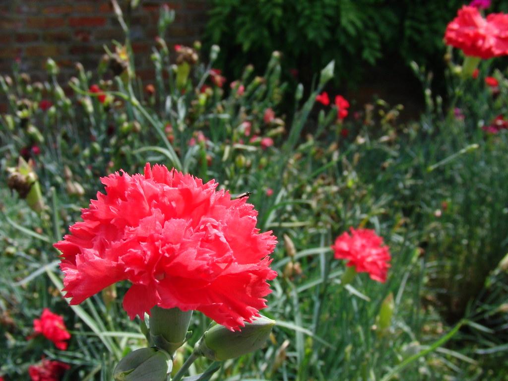 Red carnation flowers antongl