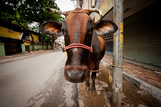 Oh, you know, just a cow in the street.  No biggie. | by Penelope's Loom