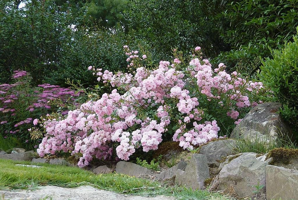 shrub rose poliantha rose 39 the fairy 39 jon orue flickr. Black Bedroom Furniture Sets. Home Design Ideas