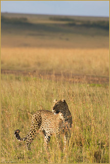Mara leopard on the lookout | by Joost N.