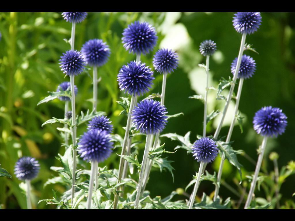 Echinops Ritro Veitch S Blue Breezy Knees Garden July