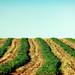 Hay Rows