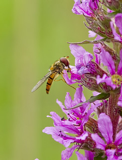 _MG_0022 Hover Fly (Episyrphus balteatus) on Purple Loosestrife (Lythrum salicaria), Brandon Marsh, Warwickshire 12Jul11 | by Lathers
