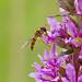_MG_0022 Hover Fly (Episyrphus balteatus) on Purple Loosestrife (Lythrum salicaria), Brandon Marsh, Warwickshire 12Jul11